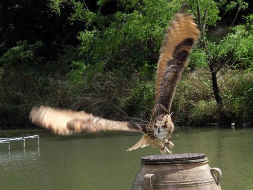 falcon_owl_700_1