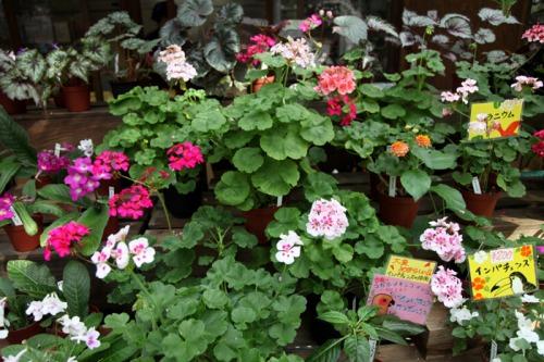 flower_shop_geranium_700