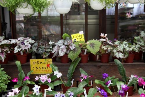 flower_shop_rex_begonia