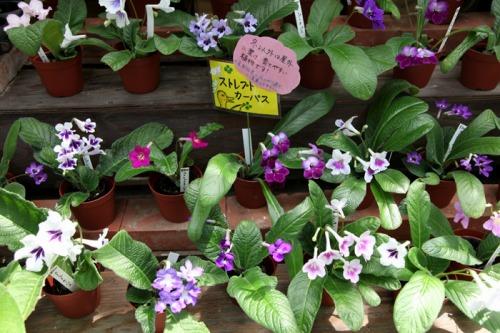 flower_shop_streptocarpus_700